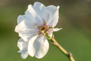 Ibiza's almond trees in bloom