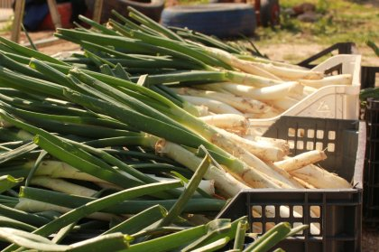 Fantastic calçots and where to find them on Ibiza