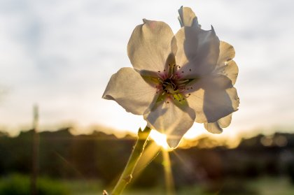 Discover the magic of Ibiza's almond trees in bloom
