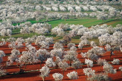 Almond blossom in the Valley of Santa Ines